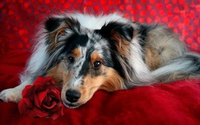 Picture look, each, rose, dog