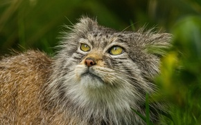 Picture cat, look, face, manul