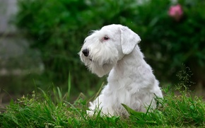 Picture white, grass, puppy, breed, the Sealyham Terrier