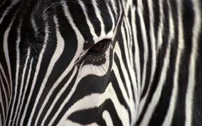 Wallpaper white, strip, black, Zebra