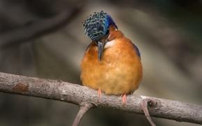 Picture eyes, branch, beak, puppy, puppy, bokeh, bokeh, eye, Kingfisher, branch, kingfisher, beak
