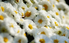 Picture wallpaper, flower, field, spring, daisy