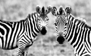Picture strips, white, black, Zebra