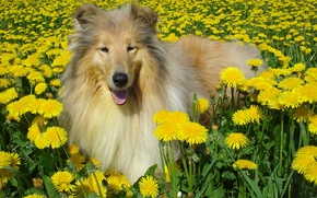 Picture dog, dandelions, collie
