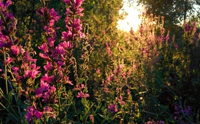 Picture forest, the sun, sunset, flowers, nature