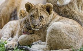 Picture language, grass, look, cats, pair, the cubs, washing, cubs, ©Tambako The Jaguar
