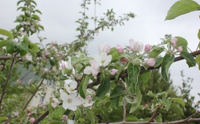 Picture summer, leaves, flowers, nature, plant, branch, stem, Apple