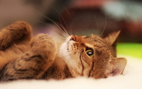 Wallpaper cat, lies, portrait