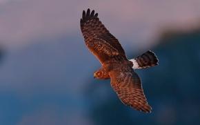 Picture bird, flight, Falcon, Harrier, LUN