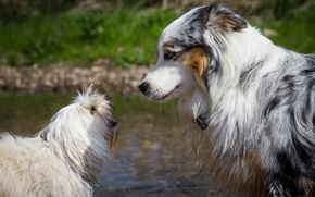 Picture dogs, pair, profile, friends