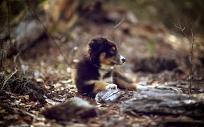 Picture nature, dog, puppy