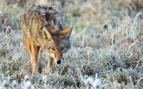 Wallpaper coyote, nature, frost, blur, lonely, anxious look, Coyote, ruffled, grass, frost