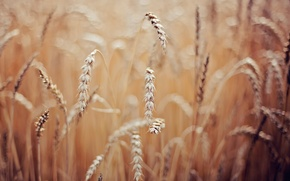 Picture wheat, macro, spikelets