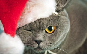 Picture cat, cat, face, yellow, eyes, grey, hat, New Year, red, British, Christmas, squints