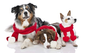 Picture holiday, New Year, Christmas, Christmas, New Year, dogs