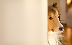 Picture dog, collie, Fergus, Kerfuffle~Photography