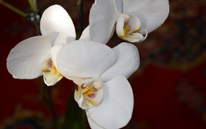 Picture flowers, Orchid, white color