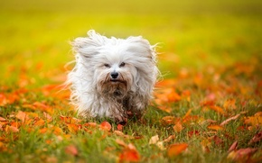 Picture autumn, leaves, dog, The Havanese, shaggy