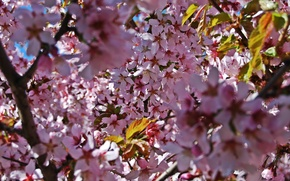 Picture flowers, tree, pink, petals, Sakura, bright, preprod