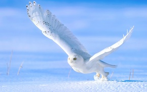 Picture winter, snow, owl, bird, the rise, snowy owl