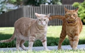 Picture cats, pair, Kota