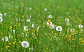 Picture field, grass, flowers, dandelions