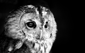 Picture photo, owl, white, black
