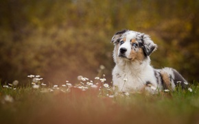 Picture flowers, glade, chamomile, dog, meadow, puppy, Wallpaper from lolita777, Aussie