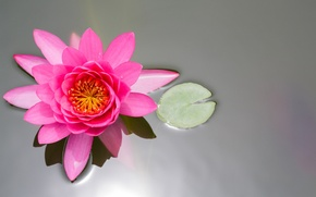 Picture flower, sheet, pond, pink, Lotus, Lily, the view from the top, water Lily