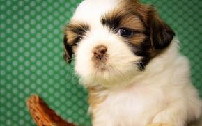 Picture dog, baby, puppy, Shih Tzu