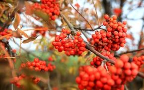 Wallpaper red, autumn, Rowan