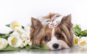 Picture flowers, muzzle, tulips, dog, bow, Yorkshire Terrier