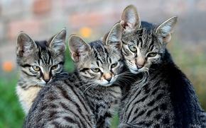 Picture cat, kittens, motherhood