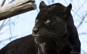 Picture face, predator, Panther, wild cat, black Jaguar
