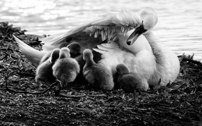 Picture love, swan, children, puppies, mother, bedtime
