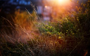 Picture GRASS, GREENS, MACRO, SUNSET, The BUSHES