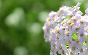 Picture summer, macro, flowers, yarrow, Grass