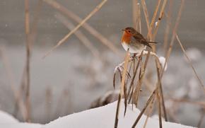 Picture grass, bird, winter, snowing