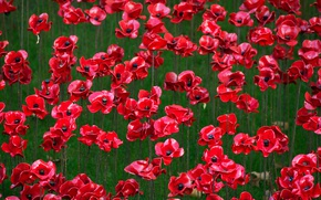 Picture flowers, memory, England, London, Tower, ceramic poppies, The First World War