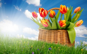Picture the sun, basket, bouquet, spring, tulips, sunshine, sky, field, flowers, tulips, spring, basket