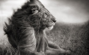 Picture nature, photo, predator, Leo, the king of beasts, Savannah