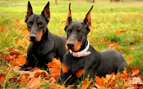Picture autumn, dogs, breed, Doberman, two Doberman