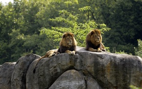 Picture cats, stones, Bush, pair, lions