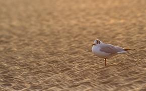 Wallpaper Seagull, bird, sand