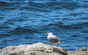 Picture sea, Seagull, on the stone