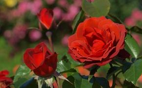 Wallpaper roses, buds, leaves