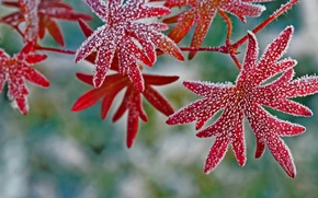 Wallpaper geranium, frost, crystals, leaves