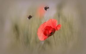 Wallpaper macro, bumblebee, petals, Mac, insect, flower