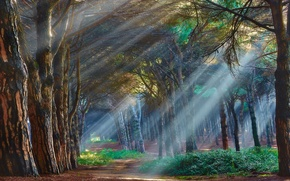 Picture forest, rays, trees, fog, Wallpaper from lolita777