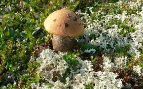 Picture grass, Mushroom, blueberries, Kola, podosinoviki